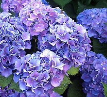 LUSH BLUE HYDRANGEAS by Joan Harrison