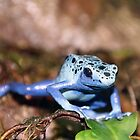 Poison Dart Frog, John Ball Zoo, Grand Rapids by robrich