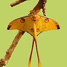 Comet Moth by Robert Abraham