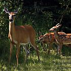 Twin Whitetail Fawns by by M LaCroix