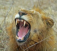 Eyerfield lion showing its teeth by jozi1