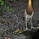 Javan Pond Heron by Winston D. Munnings
