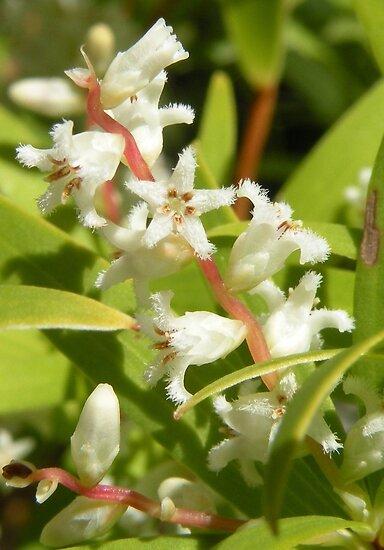 A tiny unknown beauty, probably a Leucopogon. by Trish Meyer