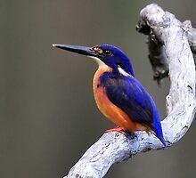 Azure Kingfisher taken at Mt Ossa near Mackay NQ. by Alwyn Simple
