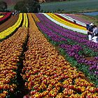 Tulip Farm, Table Cape, Tasmania by TonyCrehan