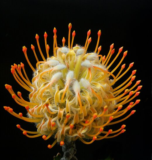 Protea on black by Michael Matthews
