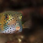 Box fish - Lembeh Straits  by Stephen Colquitt