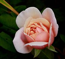 peach rose by Daisy Brooke
