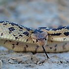 Angry Gophersnake by Chris Morrison