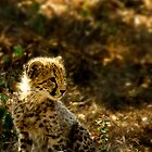 Why the Cheetahs Cheeks are Stained by Damienne Bingham