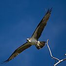 Osprey flying over the Bitterroot River by amontanaview
