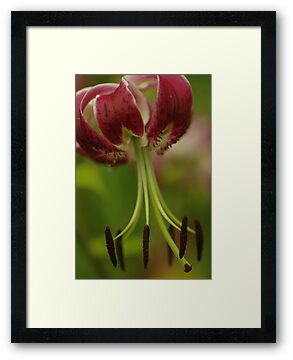 "Oriental Lily ""Black Beauty"" by Michael Cummings"