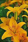 """Asiatic Lily """"Helios"""" by Michael Cummings"""