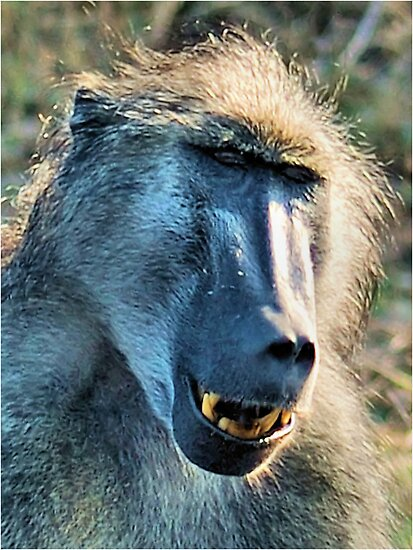 WHAT'S SO FUNNY! - CHACMA BABOON – Papio ursinus by Magaret Meintjes