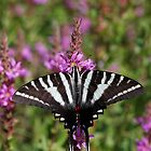 Zebra Swallowtail by Tim Devine