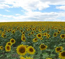 Acres of Sunflowers by Susan Hughes Gray