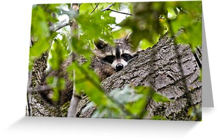 Sleeping Raccoon by Michael Cummings