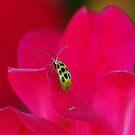 Is it a Ladybug??...Its a beetle I think?? by kellimays