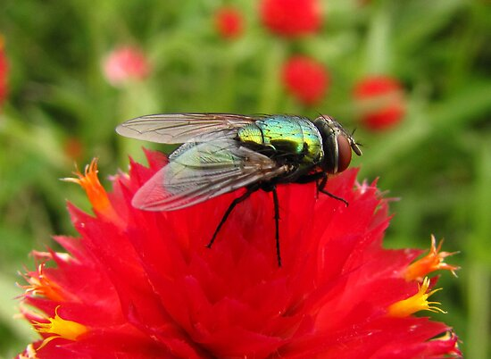 Flies Like Flowers Too! by shutterbug2010
