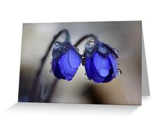 Hepatica nobilis after rain Greeting Card