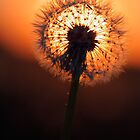 Dandelion silhouette by Romeo Koitme