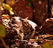 Litchfield National Park - Rock Wallaby near Florence Falls by Jaxybelle