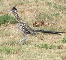 beep beep,roadrunner by gabbielizzie