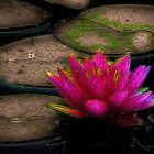 Water Lilly by wiscbackroadz