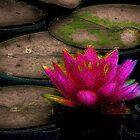 Water Lilly by wiscbackroadz