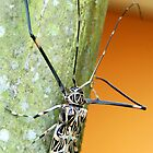 Harlequin Long-Horned Beetle (Acrocinus longimanus) - Costa Rica by Jason Weigner