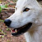 White Wolf by shutterbug2010