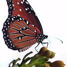 Monarch  by Dennis Stewart