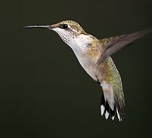 Still Shooting Hummers/ Ruby Throated Hummingbird by Gary Fairhead
