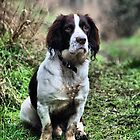 Springer Spaniel by JEZ22