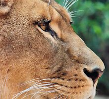 Portrait of a Lioness by Tony Walton