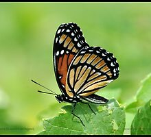 Viceroy butterfly... by pieceoflace