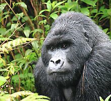 Silverback by Tony Walton