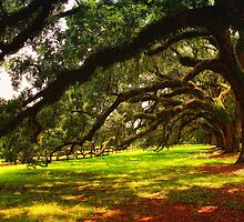 Boone Hall Plantation Giant Oaks by photosan