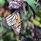 Monarch Hangin' Around by WalnutHill