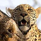 Induna - Young Male Leopard by Michael  Moss