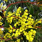 The Australian Golden Wattle  by SuzieCheree