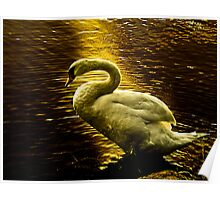 Swan at sunset Poster