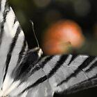 Papilio machaon by Milos Markovic