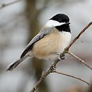 Chickadee: Winter Pose by Wolf Read