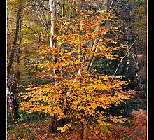Sapling in autumn colours by Gordon Holmes