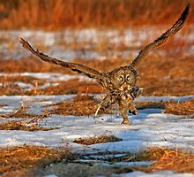 "Great Gray Owl ""Runway"" by Bill McMullen"