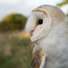 Barn Owl by Matthew Walters