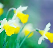 more daffodils... by Natalia Campbell