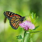 Monarch On Wildflower by Deborah  Benoit