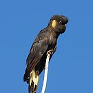 Yellow Tailed Black Cockatoo  by KeepsakesPhotography Michael Rowley